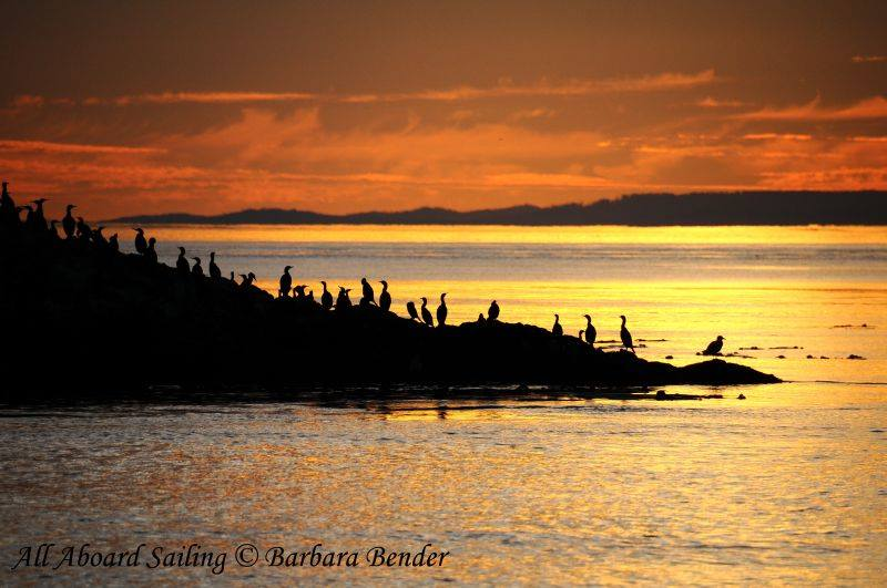 Pelagic Cormorants sunset