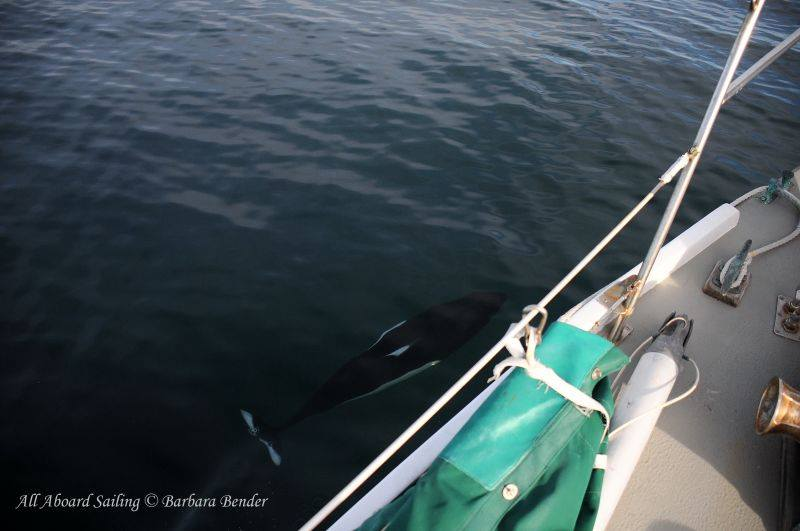 Dall's Porpoise checks out our boat