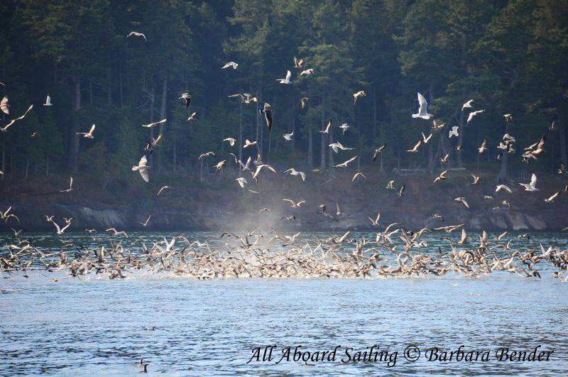 Gulls and murres with Bait Ball