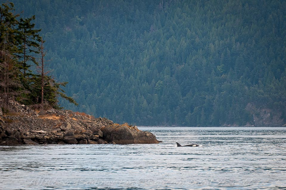 Biggs (transient) orca hunts close to shore Waldron Island, crossing President Channel to Orcas Island August 26th 2013