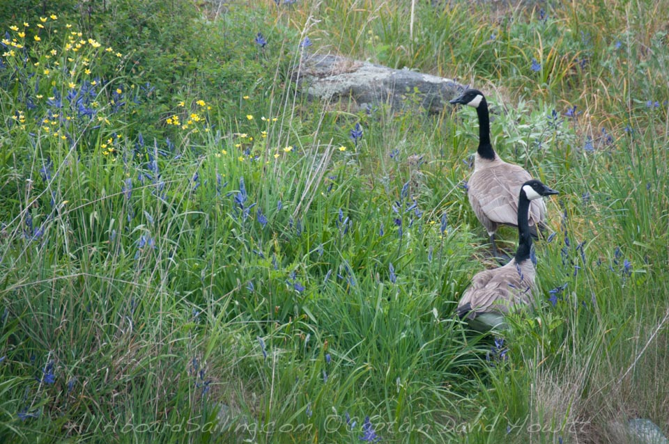 Canadian Geese, Yellow Island