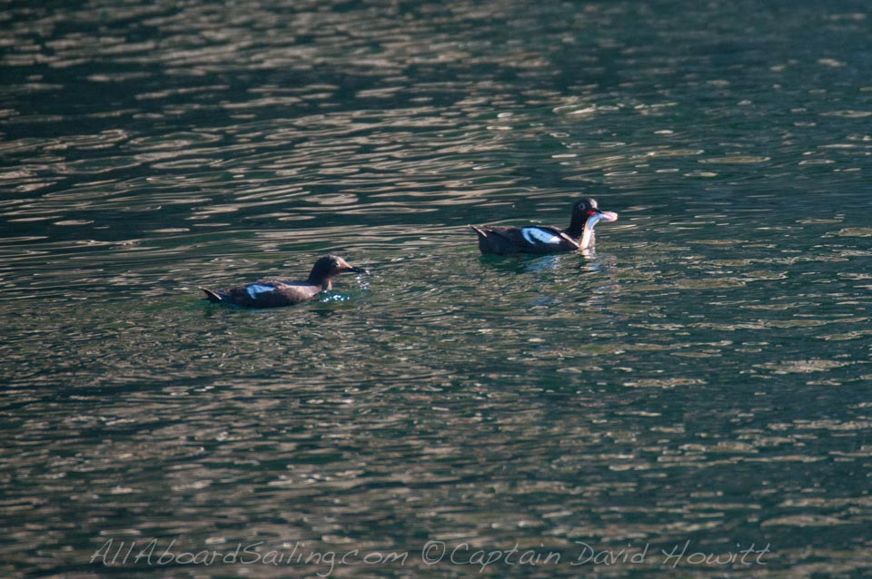 Piece Guillemots with fish