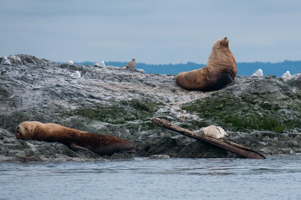 Stellars sealions at Bird Rock - I've not seen them there before. Notice the Harbor seal sleeping with a log or a pillow