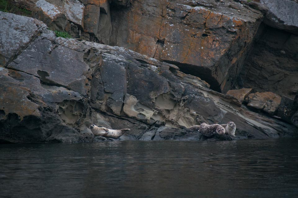 Harbor Seals, Flattop Island