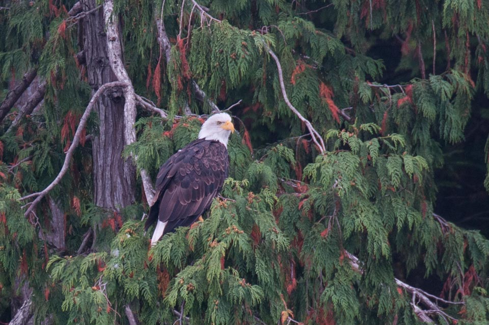 Bald Eagle on Cedar tree Speiden Island