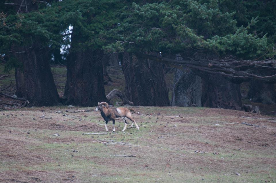 Mouflon Ram