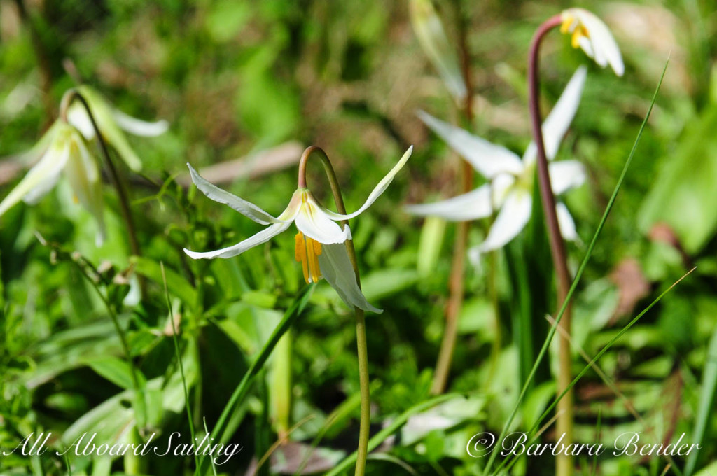 Trout Lily (or Fawn Lily), Yellow Island