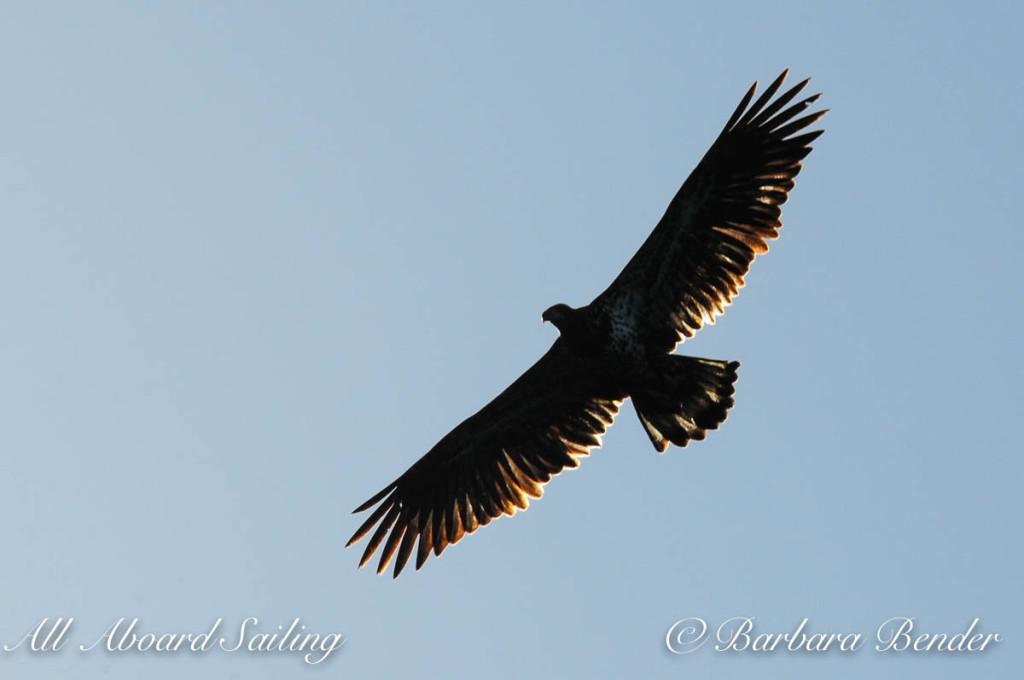 Juvenile Bald Eagle, Flattop Island