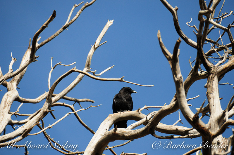 Raven in Madrone