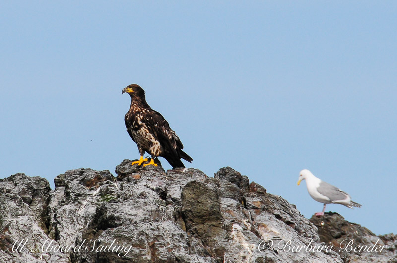 Eagle and gull
