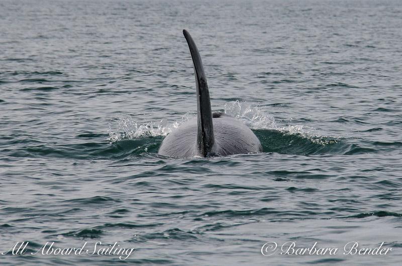 Transient Orcas T137s in San Juan Channel
