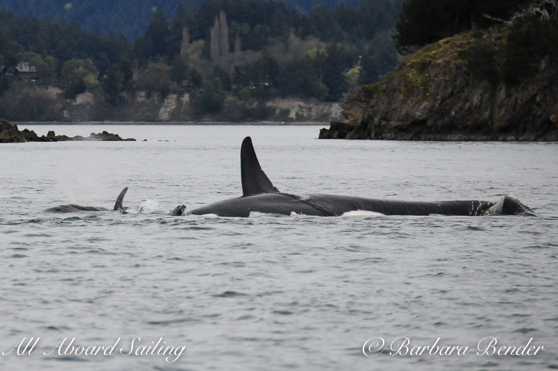 Transient Orcas T137s attacking Harbor Seal, Shirt Tail Reef, Wasp Pass