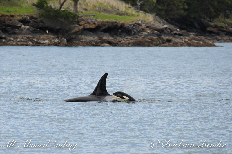 Southern Resident Orca whales J28 Polaris with calf, J54