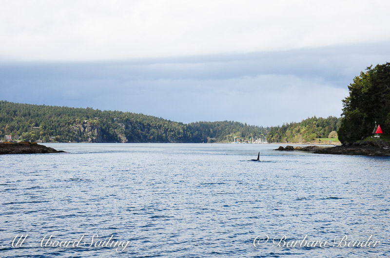 Killer whales Entering Pole Pass between Orcas and Crane Islands
