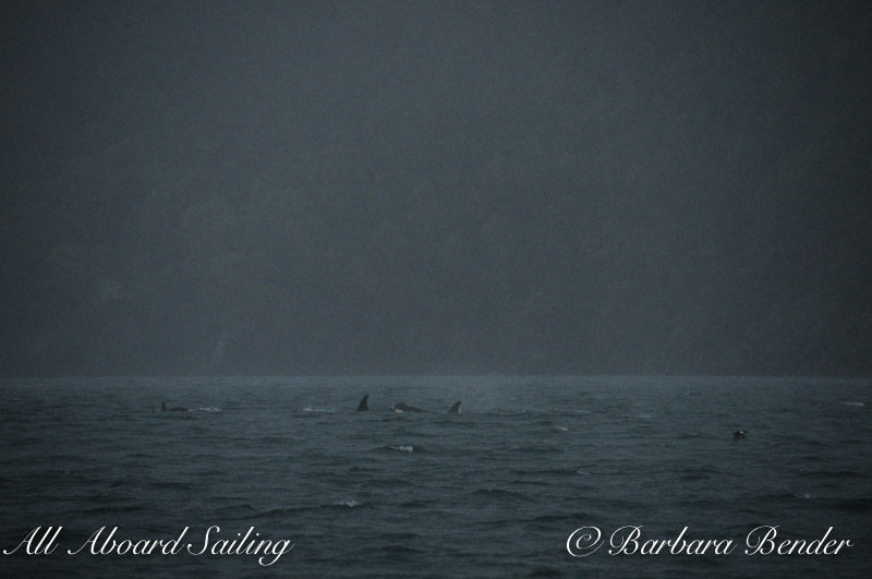 Sailing next to Orca Whales travel through heavy rain