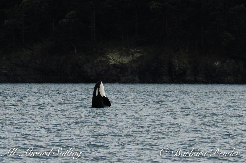 Orca whale Syphop as the storm passes