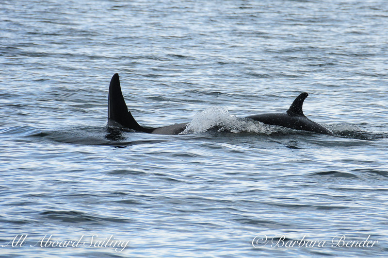 Southern Resident Killer Whales  J28 Polaris with J54