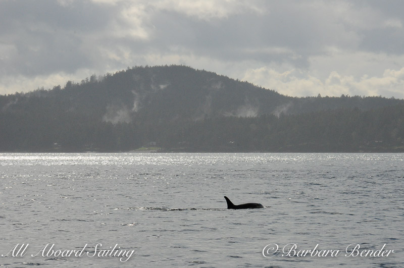 clouds clear, whales approach Speiden Island, San Juan Islands
