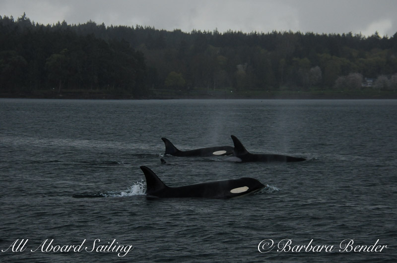 Orca whales Speiden Channel west, San Juan Islands