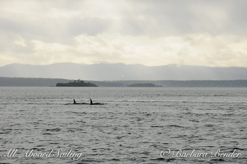 Orca whales approaching Battleship Rock,, near Roche Harbor