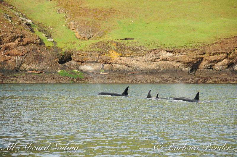 Orcas Along the shoreline of Speiden island