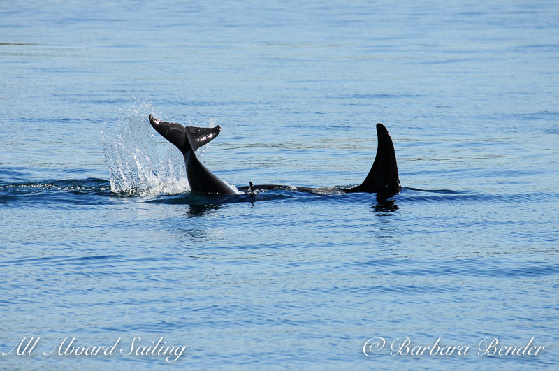 Southern Resident Killer whales J17 with J53