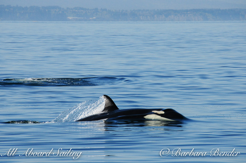 Orca Whales  All Aboard Sailing Published by Barbara Bender Page Liked · April 2 · Edited ·   J44, Moby, fishing with his mum J17 who just went below the surface