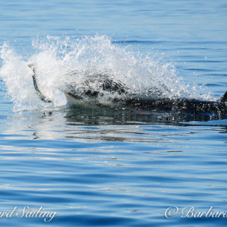 In like a Lion; out like a Lamb. March ends with whales of J pod in Haro Starit