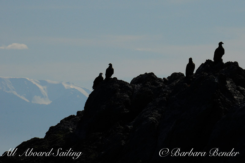 Bald Eagles, near Lopez island