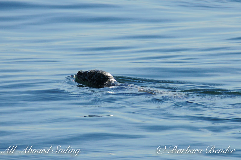 Harbor seal at Herring bait ball