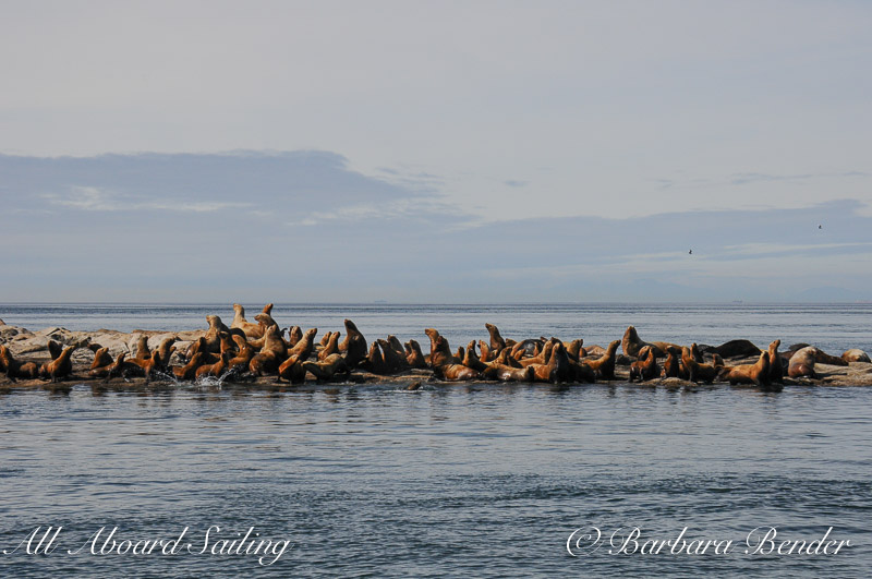 Stellar Sea Lions at Boiling Reef, Saturna Island