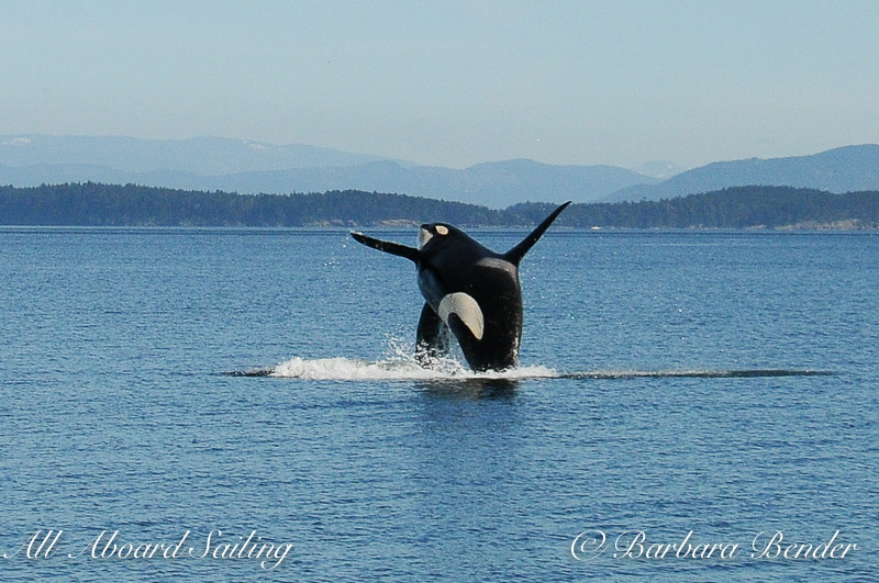 J34 orca whale has been breaching a lot this year.