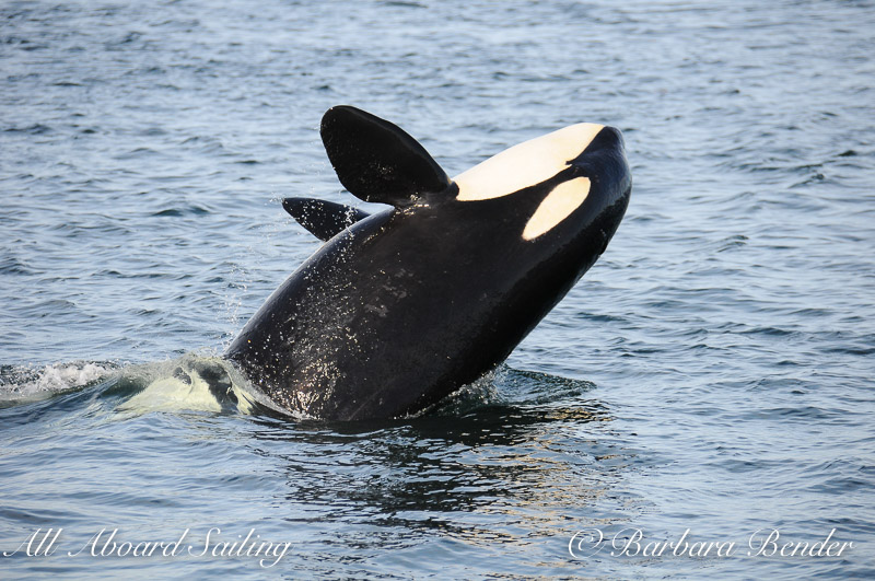 Half Breach killer whale