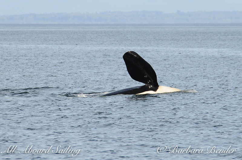 Pectoral flipper slap orca whale