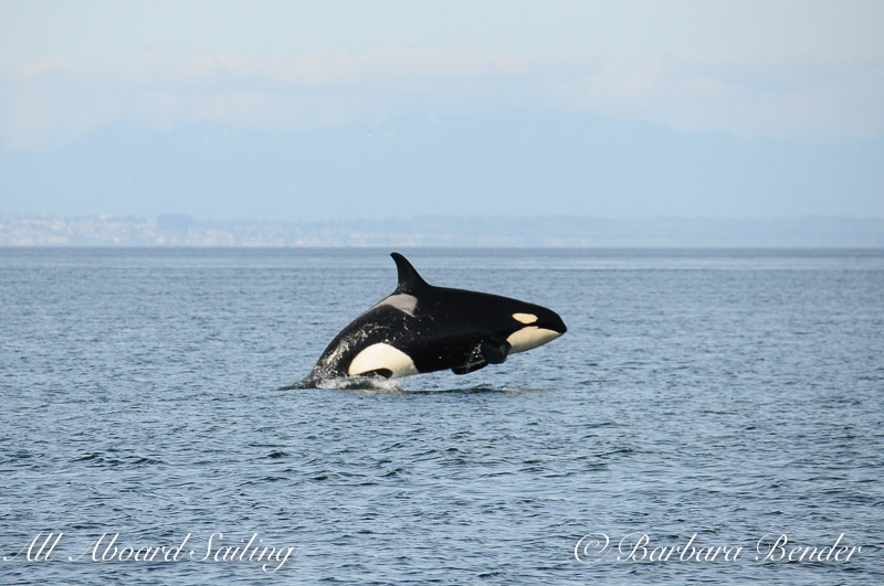 J22 breaching...certainly looks big - is she pregnant?