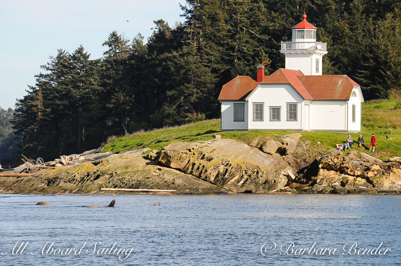 Sea lions passing Alden Point Lighthouse