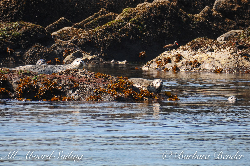 Harbor Seal at Dead Mans Island