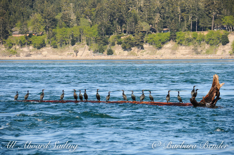 Pelagic Cormorants hitch a ride on floating Log