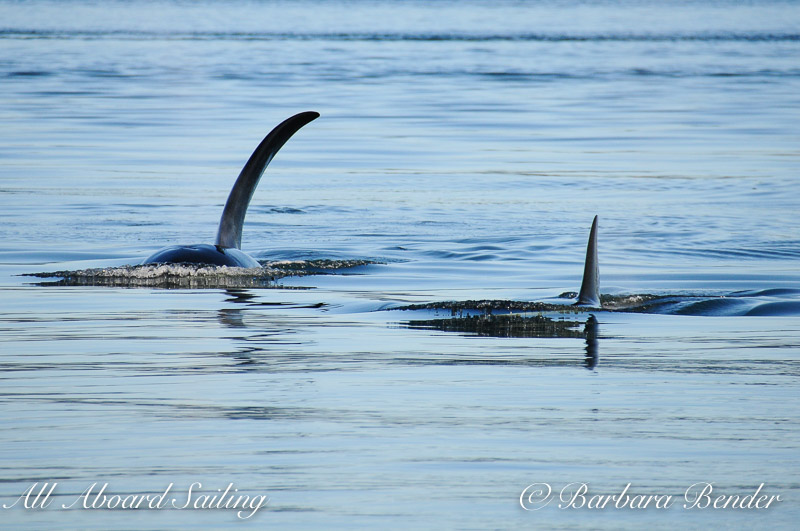 T18's Transient Orcas