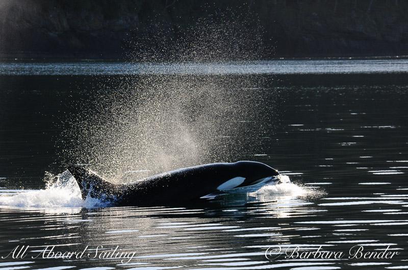 Transient Orca Whale watching San Juan Island