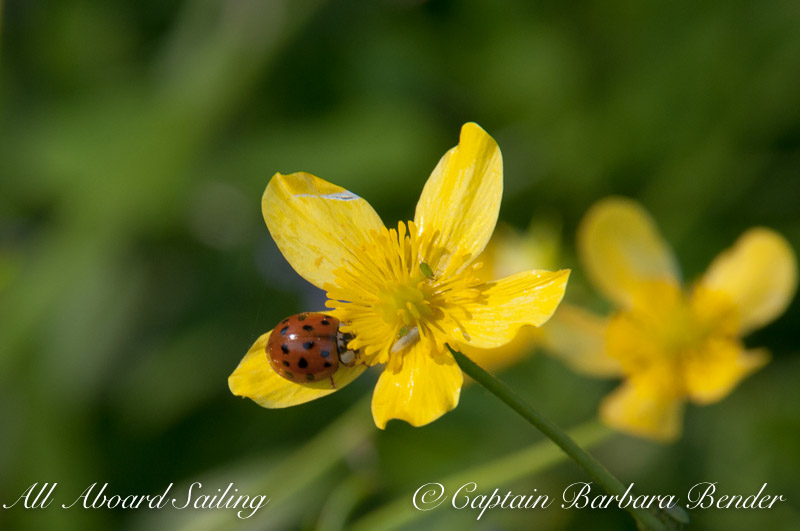 Lady Bird or Lady Bug on Buttercup
