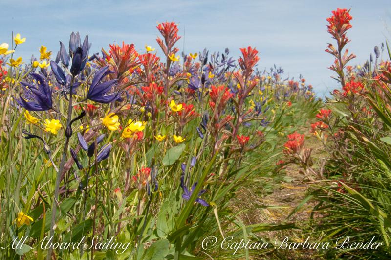 wildflowers of Yellow island Indian
