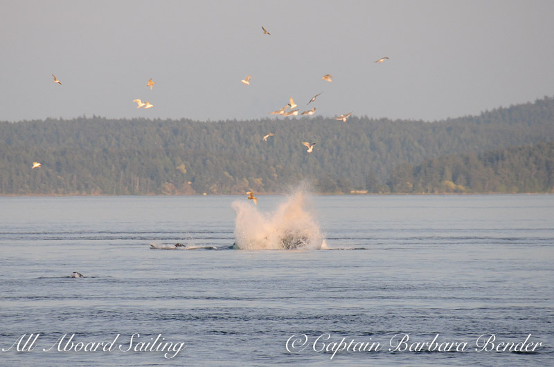 The start of the attack on the sea lions, Transient Orcas San Juan Islands