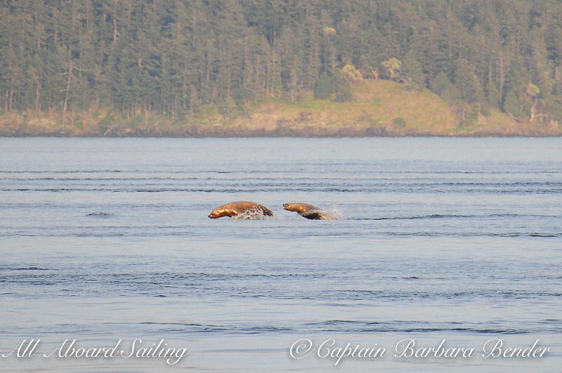Sea lions fleeing from the Transient Orcas