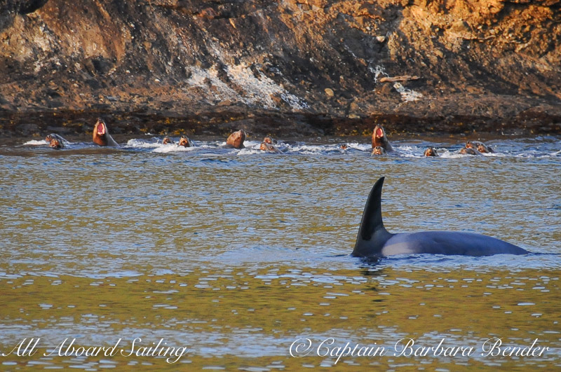 Transient Orcas T49A's watched closely by the sea lions