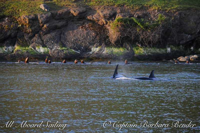 Transient Orcas T49A's watched closely by the sea lions, Speiden Island, San Juan Islands