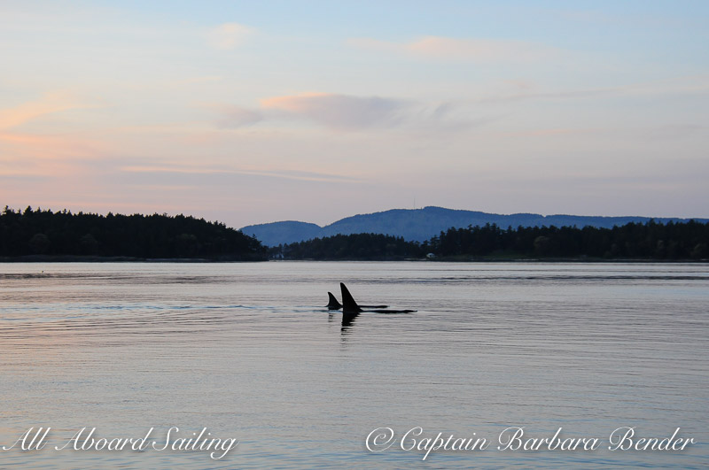 Orcas at Sunset
