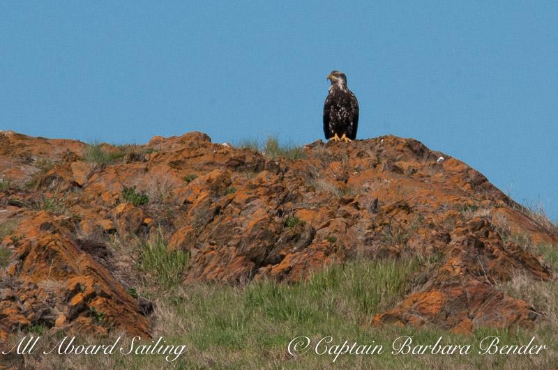 Bald Eagle on Coalville Island, South of Lopez Island
