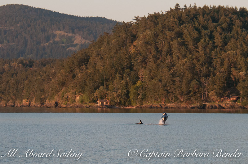 Orca breaching in Spring Pass, Orcas Island