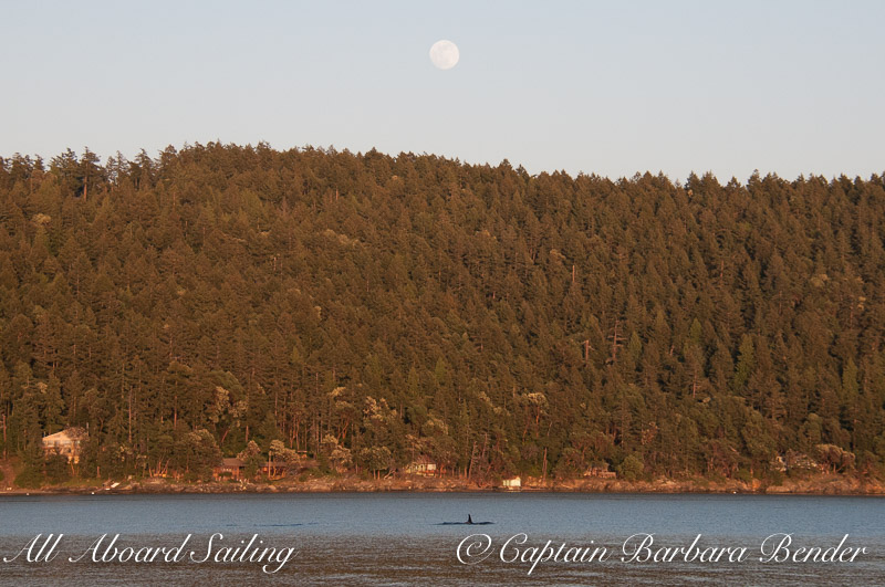Orcas passing Orcas under full moon, Spring Pass, Orcas Island